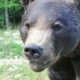 Brown Bear Portrait - VideoHive Item for Sale