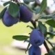Plum Fruit Hanging On The Tree - VideoHive Item for Sale