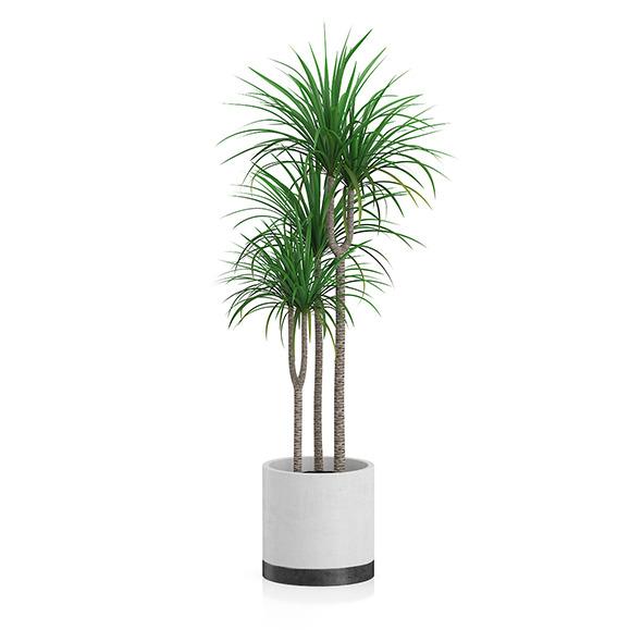 Potted Dracena Plant