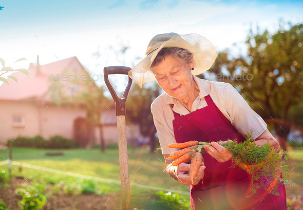 Senior woman harvesting carrots - Stock Photo - Images