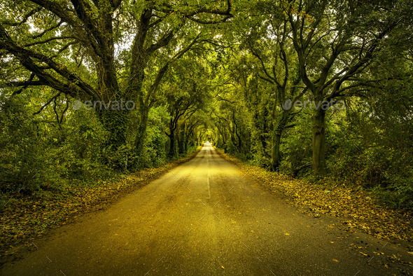 Autumn or fall, tree straight road on sunset. Maremma, Tuscany, - Stock Photo - Images