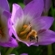 Bee Inside a Blue Flower In September - VideoHive Item for Sale