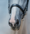 Muzzle of Grey Horse with white Mark close up - PhotoDune Item for Sale