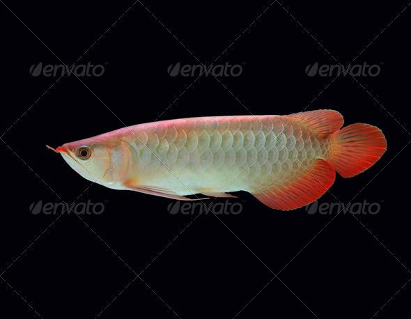Asian Arowana fish  - Stock Photo - Images
