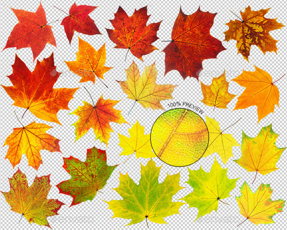 Colorful Maple Leaves - Nature & Animals Isolated Objects