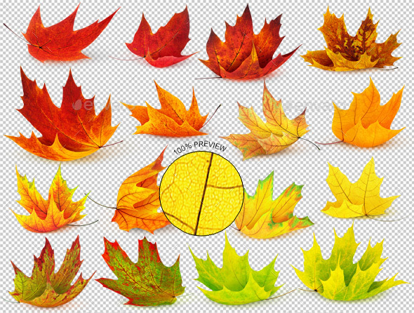16 Autumn Maple Leaves - Nature & Animals Isolated Objects