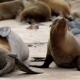 Galapagos Sea Lion, Mother And Baby - VideoHive Item for Sale