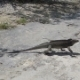 Running Rhinoceros Iguana - VideoHive Item for Sale