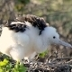 Frigatebird Chick, Galapagos - VideoHive Item for Sale