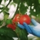 Scientist Checking a Tomato In The Greenhouse - VideoHive Item for Sale
