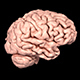 Realistic Human Brain Rotating - VideoHive Item for Sale