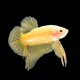 betta fish on black - PhotoDune Item for Sale