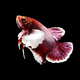 betta fish on black - PhotoDune Item for Sale