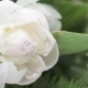 White Peony - VideoHive Item for Sale