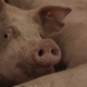 Curious Pig Seeking For Food - VideoHive Item for Sale