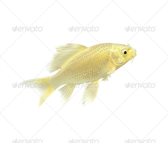 Golden Koi Fish  - Stock Photo - Images