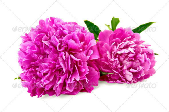 Peonies - Stock Photo - Images