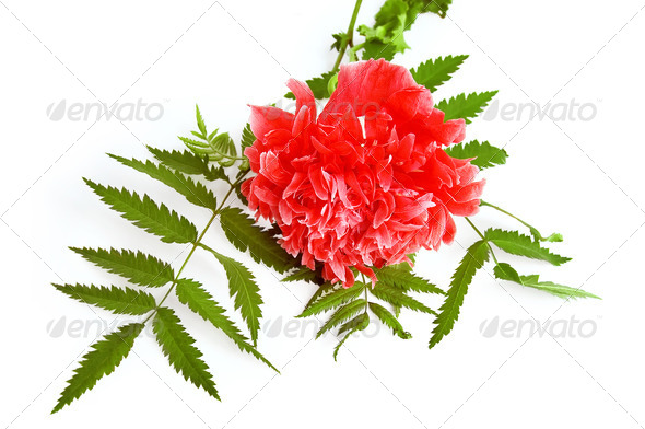 Red Poppy Decorative - Stock Photo - Images