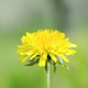 Dandelion in the Wind - VideoHive Item for Sale