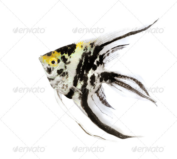 Angel fish  - Stock Photo - Images