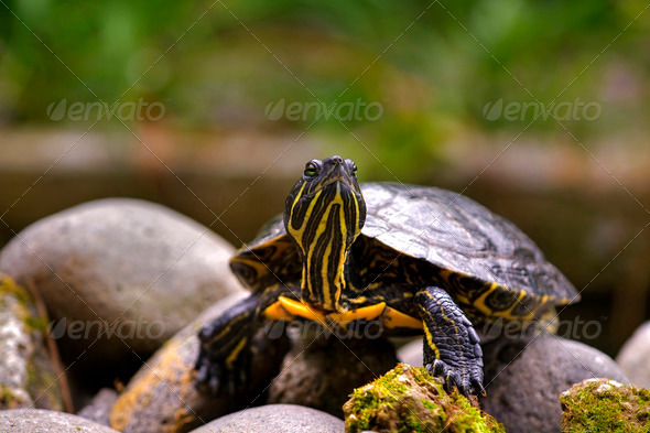 Eastern painted turtle - Stock Photo - Images