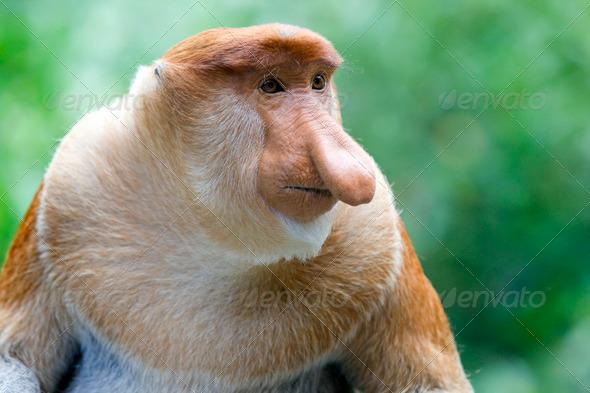 Proboscis monkey - Stock Photo - Images
