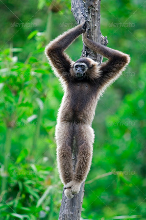 Gibbon monkey - Stock Photo - Images