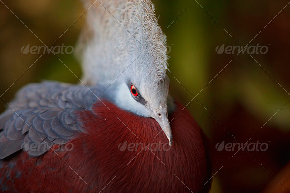 Southern Crowned Pigeon - Stock Photo - Images