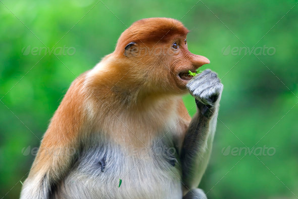 Proboscis monkey - Stock Photo - Images