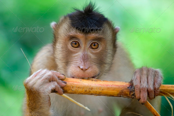 Macaque monkey - Stock Photo - Images