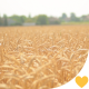 Golden Wheat Field with a Blue Sky - VideoHive Item for Sale