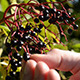Picking Elderberries - VideoHive Item for Sale