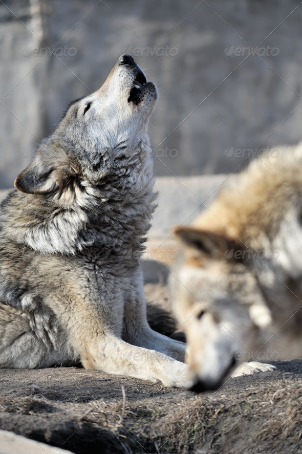 Howling wolf - Stock Photo - Images
