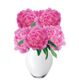 beautiful pink peonies in glass vase with bow isolated on white - PhotoDune Item for Sale