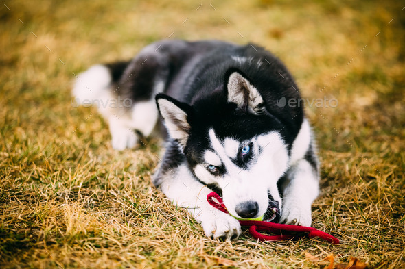 Young Dog Husky Puppy Plays With Toy Tennis Ball Outdoor - Stock Photo - Images