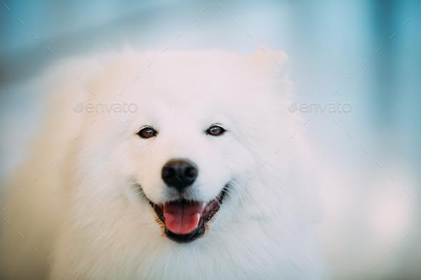 Happy White Samoyed Dog Puppy Close Up Portrait - Stock Photo - Images