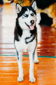 Young Black And White Husky Eskimo Dog Staying On Wooden Floor.