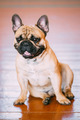 Funny Dog French Bulldog sitting on old wooden floor indoor.