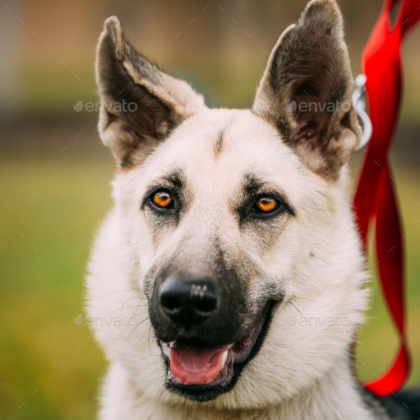 Close up portrait of young Happy East European Shepherd dog - Stock Photo - Images
