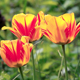 Colorful Tulips - VideoHive Item for Sale