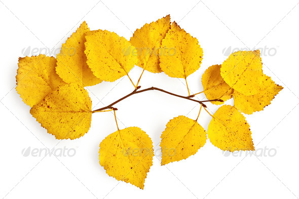 Sprig of birch with yellow leaves - Stock Photo - Images