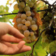 White Wine Grape Tasting - VideoHive Item for Sale