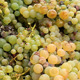 Autumn Grapes Harvest - VideoHive Item for Sale