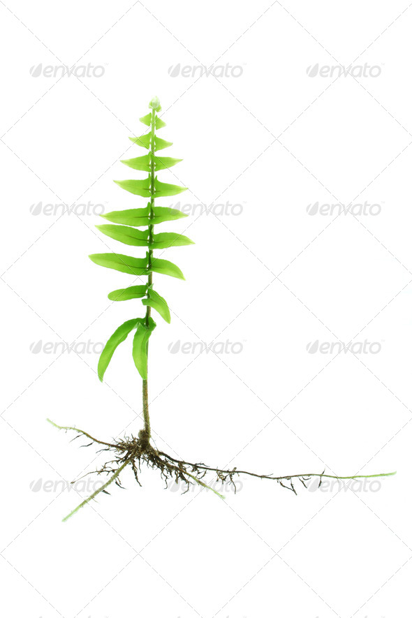 Young growing fern plant with roots - Stock Photo - Images