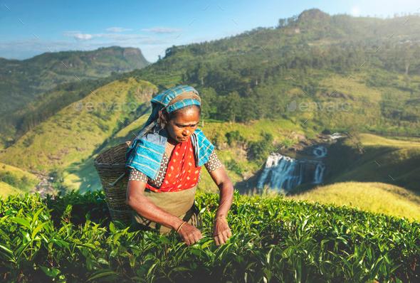 Indigenious Sri Lankan Tea Picker Agricultural Farm Concept - Stock Photo - Images