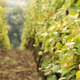White Grapes In The Wind - VideoHive Item for Sale
