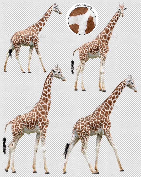 Collection of Giraffes in Various Poses - Nature & Animals Isolated Objects
