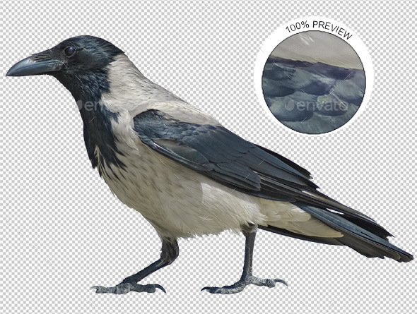 Hooded Crow Walking - Nature & Animals Isolated Objects