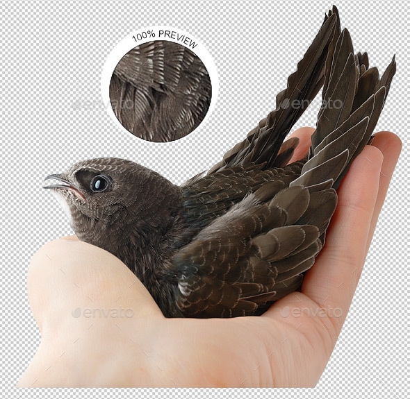Bird in Human Hand - Nature & Animals Isolated Objects