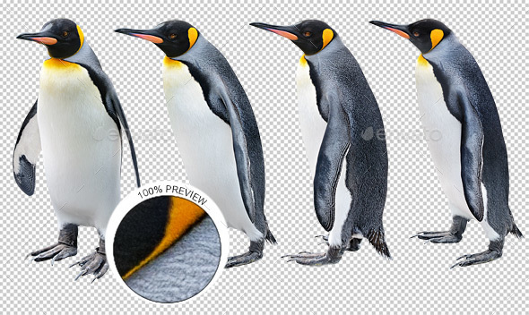 King Penguin in Various Poses - Nature & Animals Isolated Objects